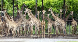 Group of giraffe Royalty Free Stock Photo