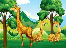 A group of giraffe in forest Stock Images