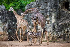 Group of giraffe (Giraffa camelopardalis) and Plains Zebras (Equ. Us quagga), Zoo Royalty Free Stock Image