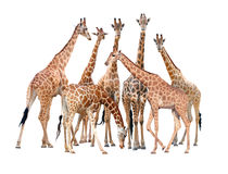 Group of giraffe isolated. On white background stock photos