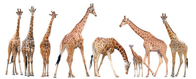 Group of giraffe isolated Royalty Free Stock Images