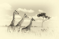 Group giraffe in National park of Kenya. Vintage effect Royalty Free Stock Photos