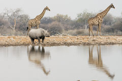 Group of giraffe and rhinoceros at waterhole in the late afterno Stock Photos