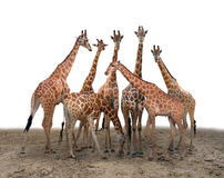Group of giraffe stock photo