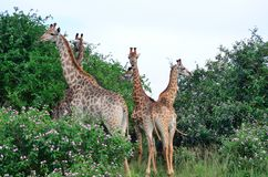 Giraffe standing in a group. Group of giraffe standing together in a group eating Stock Photography