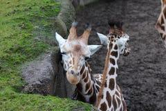 Group giraffe Royalty Free Stock Photography