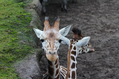 Group giraffe Stock Image