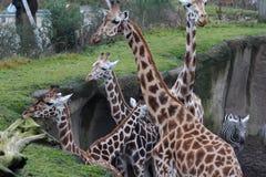 Group giraffe Royalty Free Stock Image