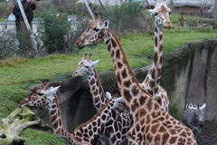 Group giraffe Royalty Free Stock Images
