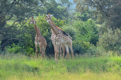 Giraffe group in the african bush. Group of giraffe standing together in the trees in the african bush Royalty Free Stock Photography