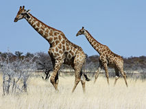 Group of giraffes Stock Photo