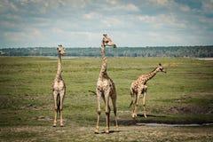Group of giraffes. African giraffes in Maasai Mara, Kenya Royalty Free Stock Image