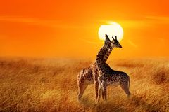 Group of giraffes against sunset in the Serengeti National Park. Africa. Tanzania stock image
