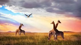 Group of giraffes and bird in the Serengeti National Park. Sunset cloudscape. African wild life.  stock images