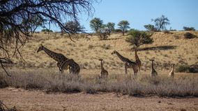 Group of giraffes in savannah. Group of giraffes of different ages walking in savannah, viewed over low bushes from the distance stock image
