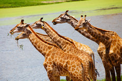 Group of Giraffes Eating Grass, Safari Royalty Free Stock Photography