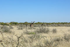Group of Giraffes in Etosha Pan. Small group of Giraffes 5 including one baby Giraffe surrounded by high grass, bushes and trees in Etosha National Park, Namibia Stock Photo