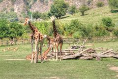 Group of Giraffes. Few standing and lying giraffes in zoo and some another animals in background Royalty Free Stock Images