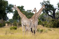 Group of giraffes Royalty Free Stock Image