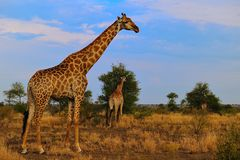 Group of Giraffes (Giraffa camelopardalis). In the savanna of South Africa stock image