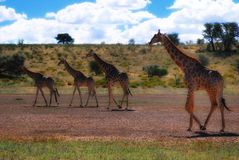 Group of Giraffes (Giraffa camelopardalis) Stock Images