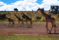 Group of Giraffes (Giraffa camelopardalis). In the Kalahari Desert (South Africa Stock Images