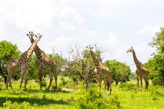Group of giraffes in the green grass Royalty Free Stock Photo