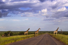 Group of giraffes in a green savannah, Kruger Park, South Africa. Group of giraffes in a green savannah crossing the road, , Kruger Park, South Africa Royalty Free Stock Images