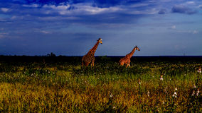 Group of giraffes in a green savannah, Kruger Park, South Africa. Group of two giraffes in a green savannah, Kruger Park, South Africa Stock Photos