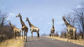 Group of Giraffes in Kruger National park, in the road, South Africa. Specie Giraffa camelopardalis family of Giraffidae,  group of Giraffes in Kruger National Royalty Free Stock Photos