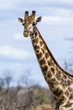 Group of Giraffes in Kruger National park royalty free stock image