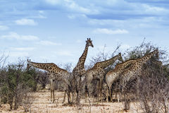 Group of Giraffes in Kruger National park Royalty Free Stock Photography