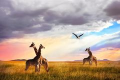 Group of giraffes and Marabou stork in the Serengeti National Park. Royalty Free Stock Image