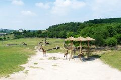 A group of giraffes, outdoor Zoo, Prague. Royalty Free Stock Photo