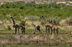 Group of giraffes Stock Image