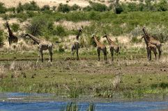 Group of giraffes by pond Royalty Free Stock Photography