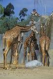 Group of Giraffes, San Diego Zoo, CA, Masai Giraffe, Giraffa Camelolpardalis Stock Photo