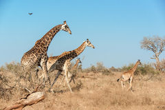 Group of giraffes Royalty Free Stock Photos