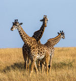 Group of giraffes in the savanna. Kenya. Tanzania. East Africa. Royalty Free Stock Images