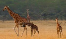 Group of giraffes in the savanna. Kenya. Tanzania. East Africa. Stock Images