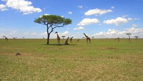 Group of giraffes in savannah at africa stock video footage