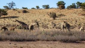 Group of giraffes in savannah. stock photo