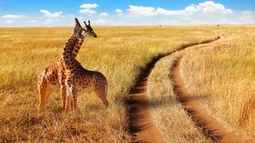 Group of giraffes in the Serengeti National Park near the road. Royalty Free Stock Images