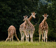 Group of Giraffes. Before some trees Royalty Free Stock Photos