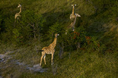Group of giraffes are standing. Stock Photos