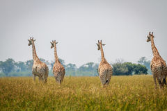 Group of Giraffes walking away from the camera. royalty free stock photo