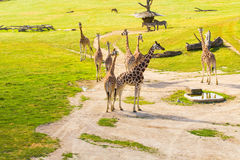 Group of giraffes walks in the park royalty free stock image