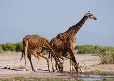 Group of giraffes at the watering. Kenya. Tanzania. East Africa. Royalty Free Stock Image