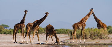 Group of giraffes at the watering. Kenya. Tanzania. East Africa. Stock Photos