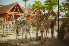Group of giraffes in the zoo Stock Image